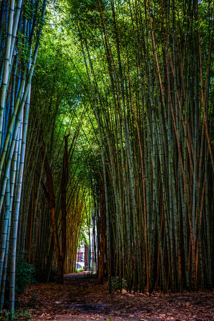 Unusual Bamboo Grove in southern Appalachia of North Carolina
