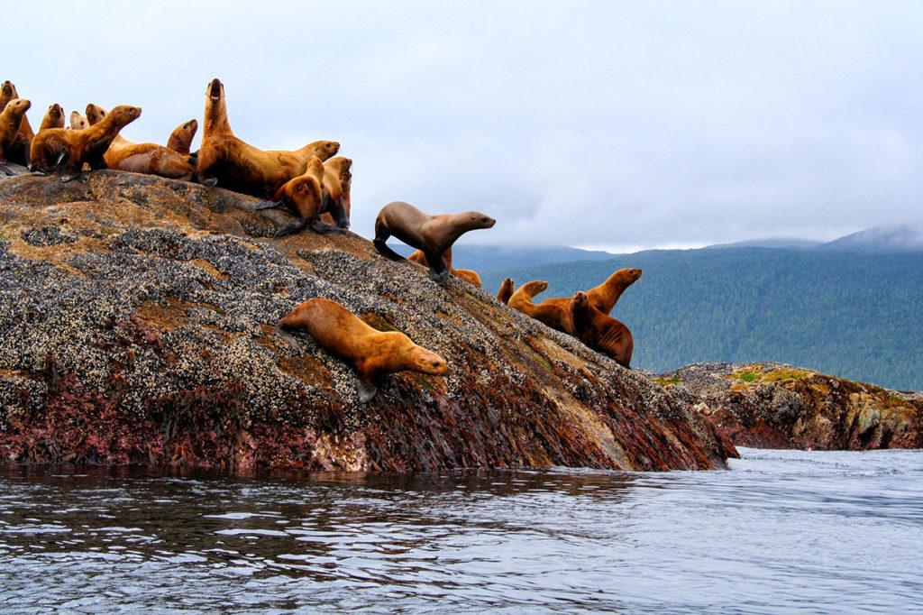 Haida Gwai - Queen Charlottes Sea Lions