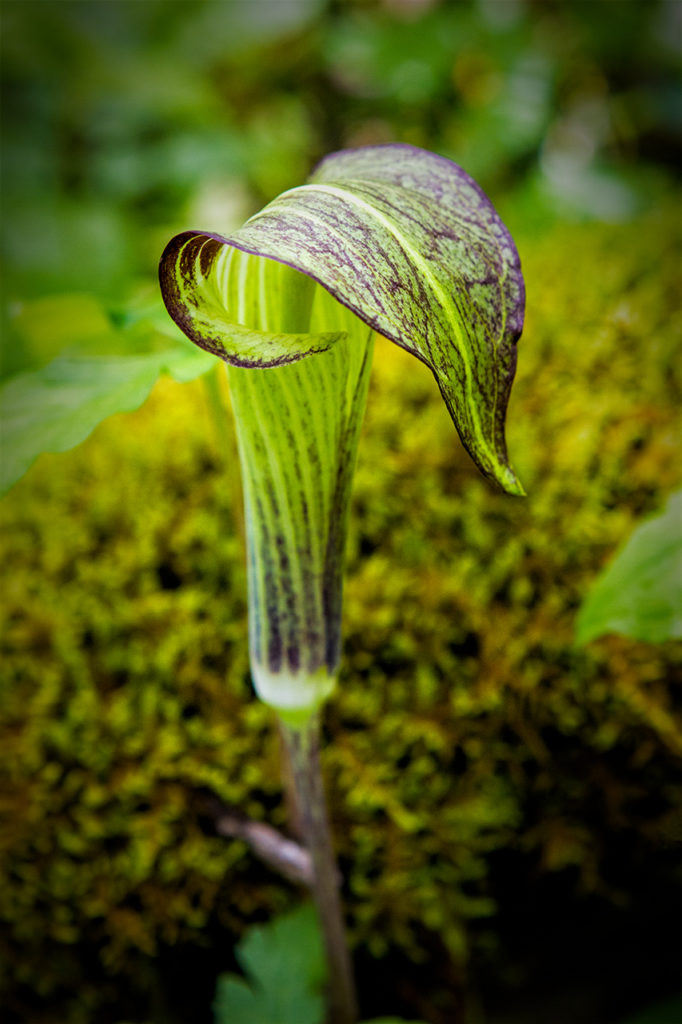 macro image jack in the pulpit flower