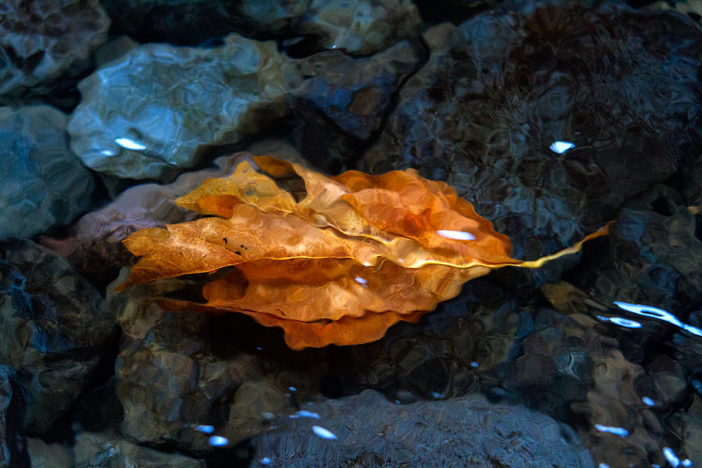 brilliant orange leaf submerged in autumn river