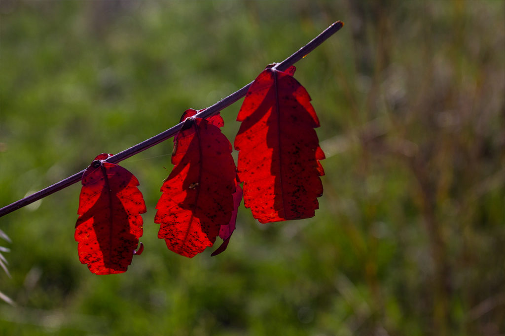row of brilliant red leaves in autumn grassland