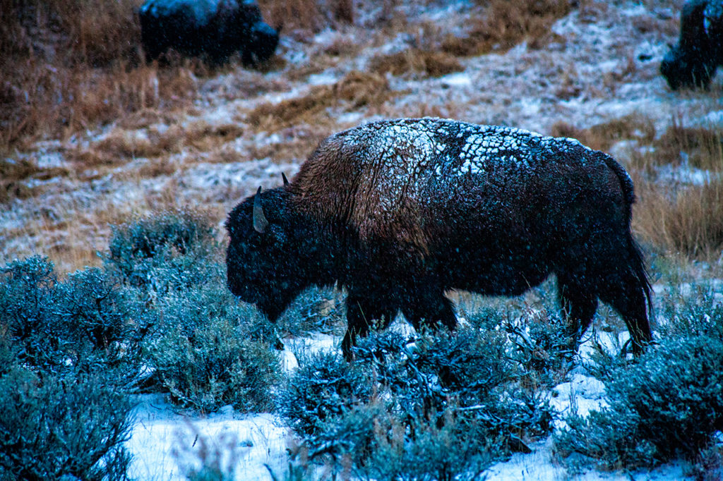 Snow covered Bison forages in frozen Yellowstone National Park in winter
