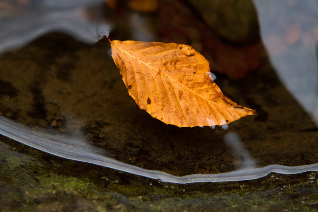 macro of beautiful fall leaf suspended in calm water